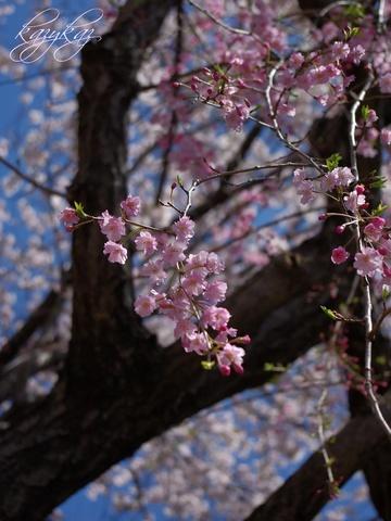 枝垂桜3.jpg