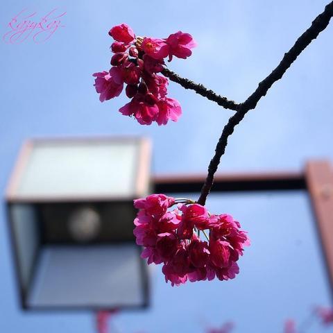 桜 2012(3).jpg
