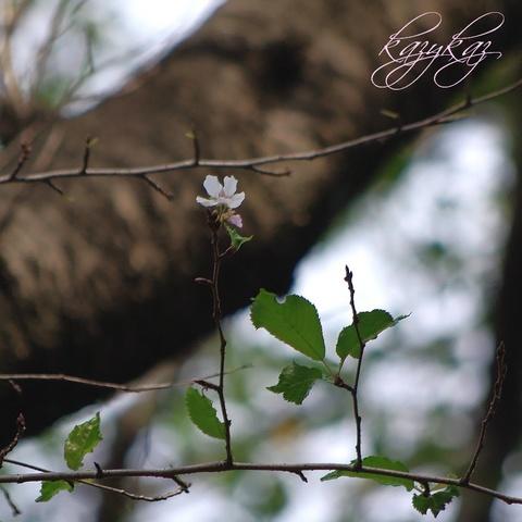 桜咲く3.jpg
