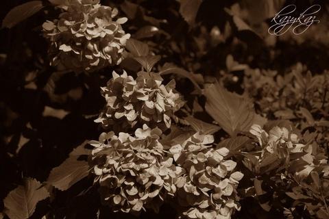 紫陽花の終焉.jpg